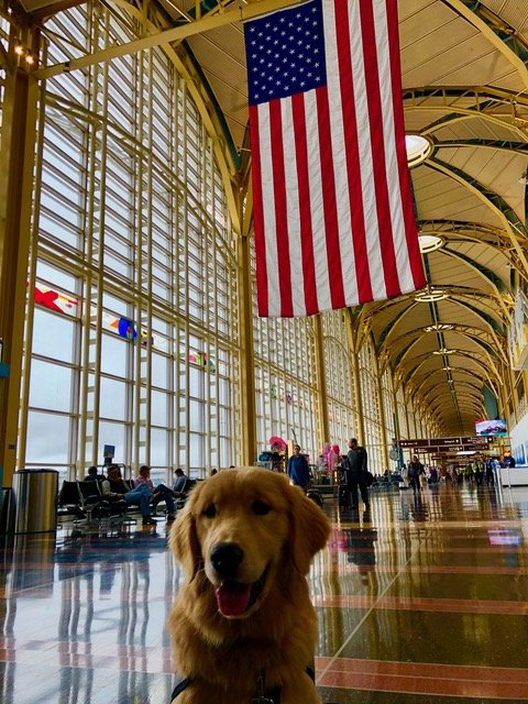 Hero Dogs Captain, a service animal in training, at DCA