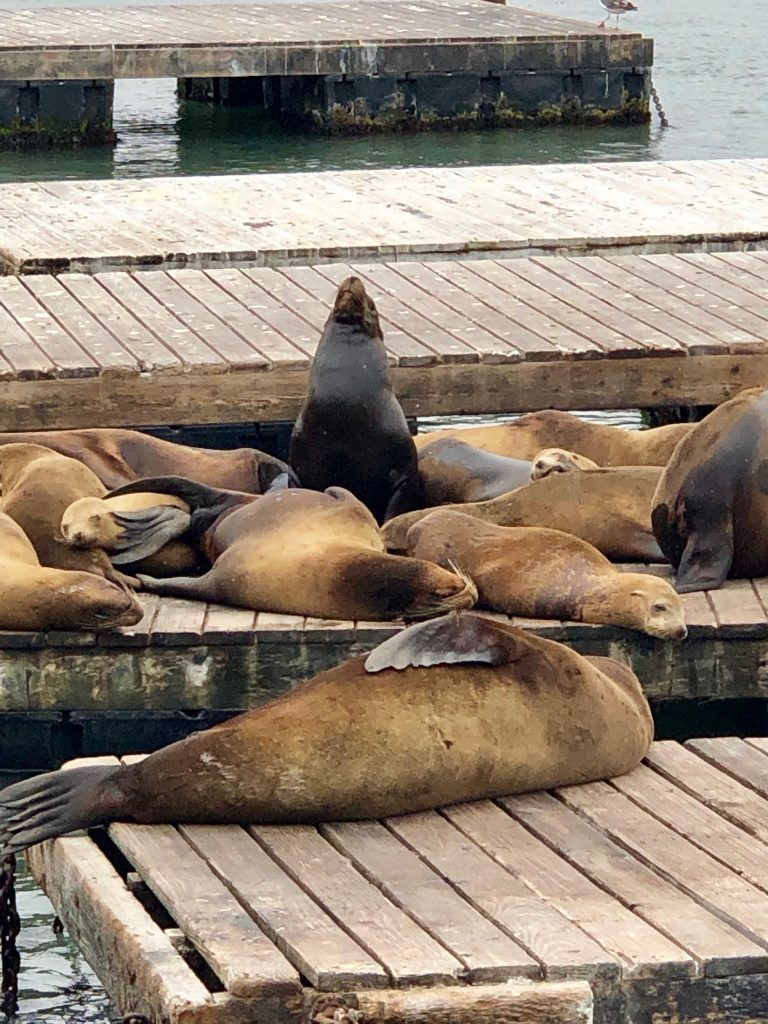One sea lion stands at attention among dozens of his sleeping counterparts at Pier 39 in San Francisco.